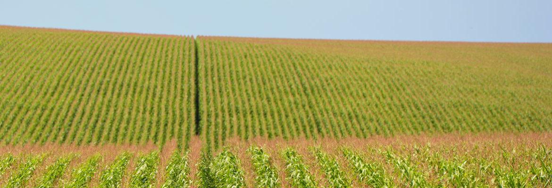 Агротехнология и советы по выращиванию кукурузы
