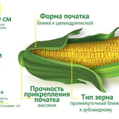 Ранньостиглий гібрид кукурудзи Премія 190 МВ (ФАО 190)