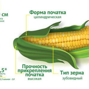 Середньоранній гібрид кукурудзи ДМС Тренд (ФАО 290)
