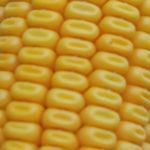 Гибриды кукурузы с повышенным содержанием протеина
