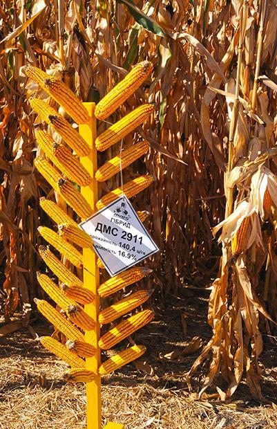 купить гибрид кукурузы ДМС2911