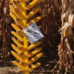 Оригинальные, качественные, доступные гибриды кукурузы