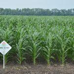 Двадцать первый гибрид кукурузы Компании Маис в Республике Беларусь