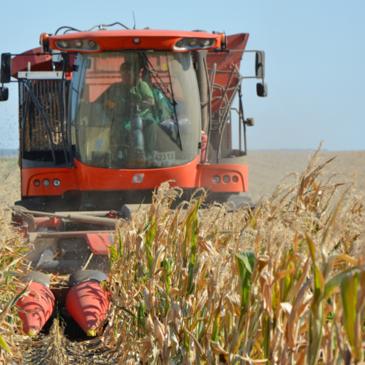 Уже убрано 43% семенного материала кукурузы