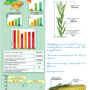 Середньостиглий гібрид кукурудзи ДМ Дует (ФАО 320)