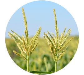 Селекція кукурудзи