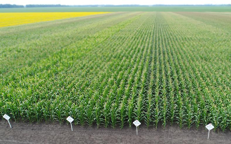 Карта урожайности гибридов кукурузы Компании МАИС