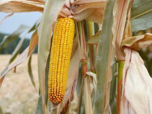 Нові гібриди кукурудзи