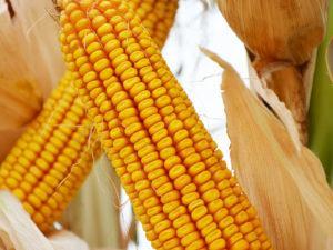 Высокоурожайные гибриды кукурузы
