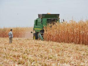 Новые гибриды кукурузы для интенсивного выращивания