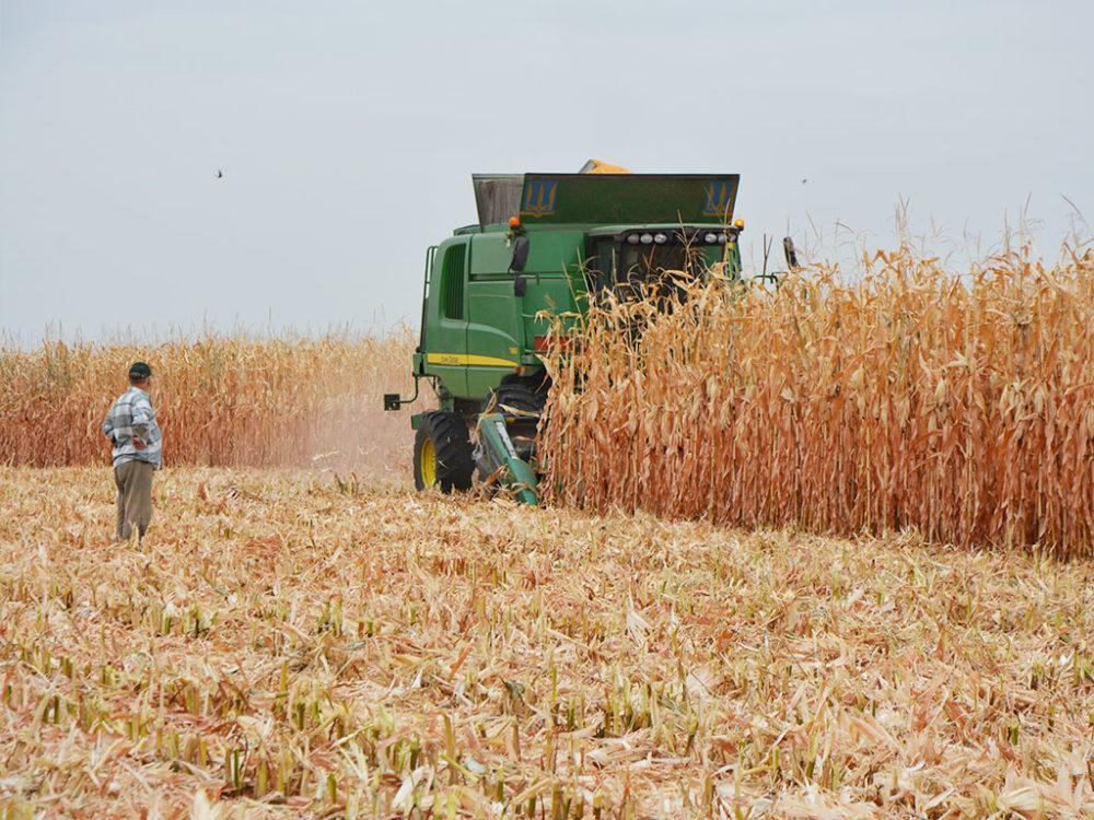 Новые гибриды кукурузы для интенсивного выращивания | Компания МАИС