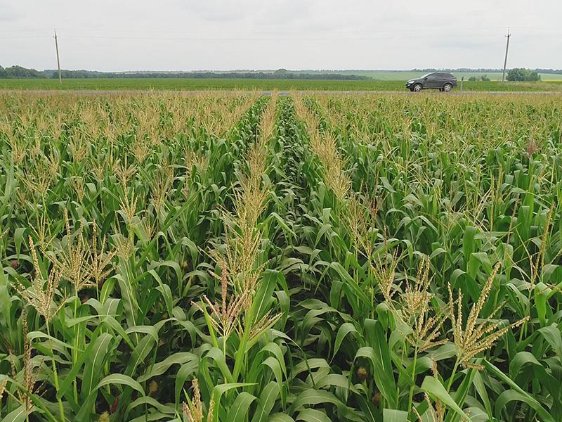 Как предотвратить негативные явления засухи при выращивании кукурузы