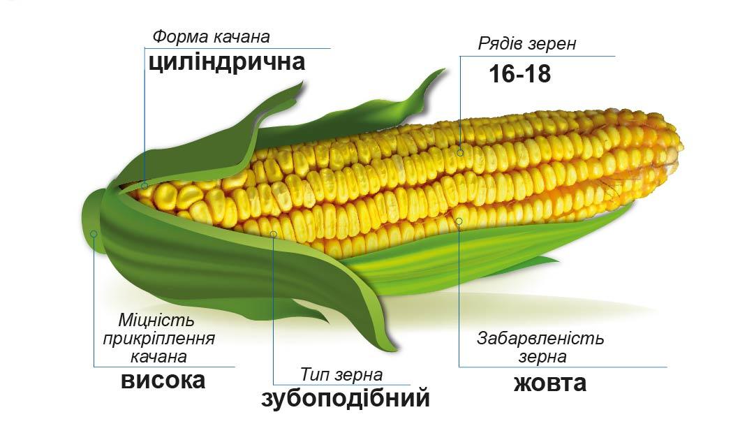 ДМС Грант (ФАО 340) Середньостиглий гібрид кукурудзи