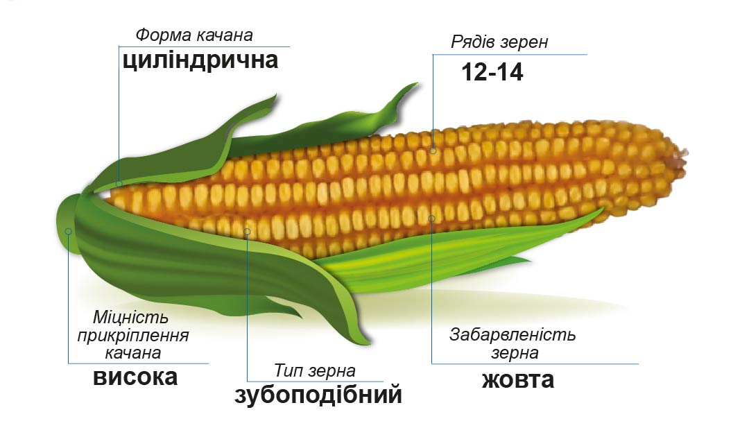 ДМС Сектор (ФАО 330) Середньостиглий гібрид кукурудзи