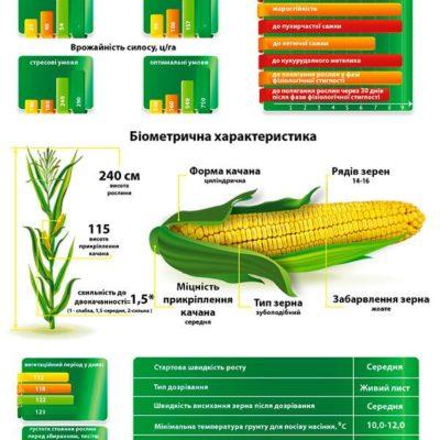 Середньостиглий гібрид кукурудзи Красилів 327 МВ (ФАО 350)