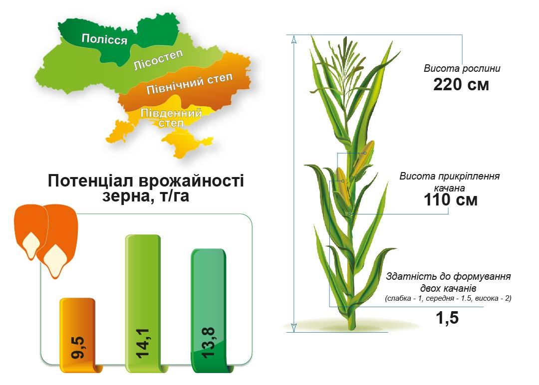 Середньоранній гібрид кукурудзи Сплав МС 290 (ФАО 290)